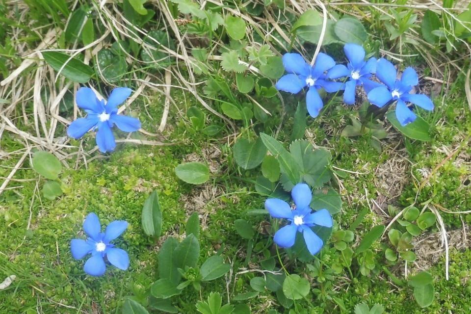 bohinj wild flowers