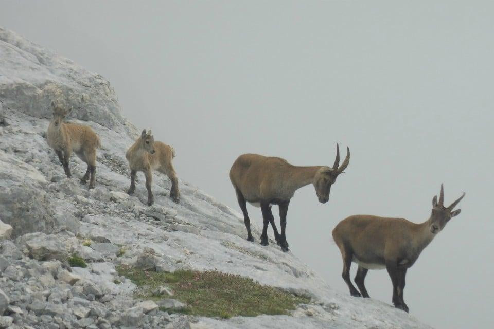 ibex julian alps slovenia