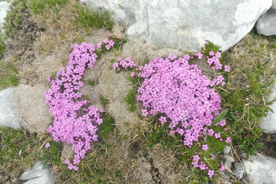 wild flowers bohinj