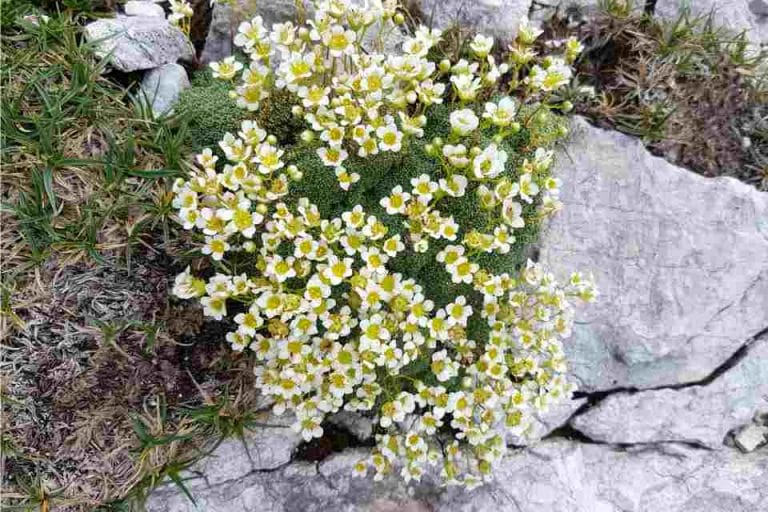 alpine flowers vogel